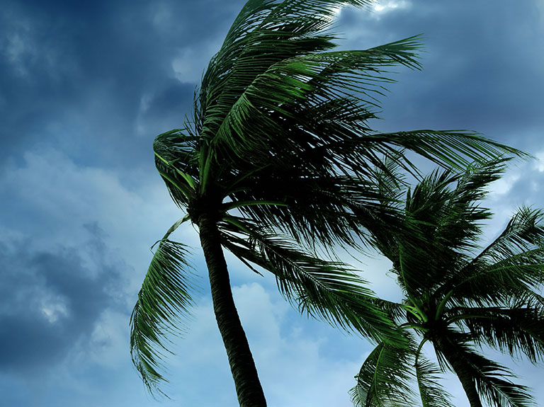 Palm trees swaying due to strong hurricane winds